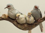 Diamond Dove Family