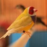 Male Yellow-back Gouldian Finch