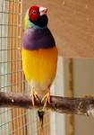 Male Lady Gouldian singing
