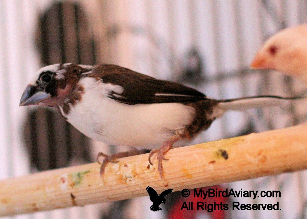 Chocolate Pied Society Finch