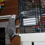 African Grey climbing on cage
