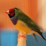 Red-headed, purple breast, green-back male Lady Gouldian Finch