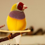 Red-Headed, Purple Breast, Yellow-back male Lady Gouldian Finch