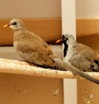 Cape Doves (female on the left; male on the right)
