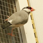 Java Finch