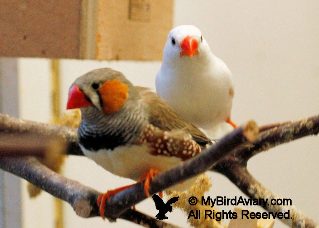 Normal Male and White Female Zebra Finch