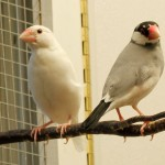 White and Normal Java Sparrow (Java Finch)