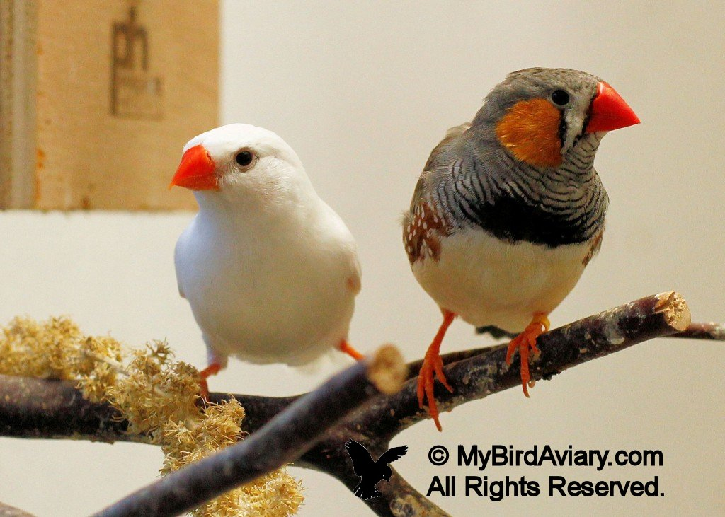 White Female and Normal Male Zebra Finch - My Bird ... Bird Nest With Bird