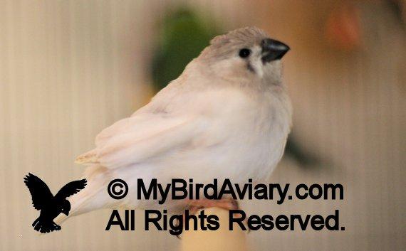 CFW Zebra Finch Fledgling - My Bird AviaryMy Bird Aviary